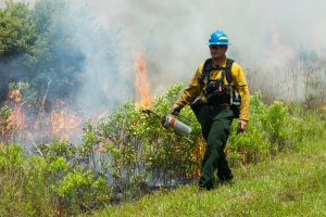 District staff with drip torch starting a prescribed fire