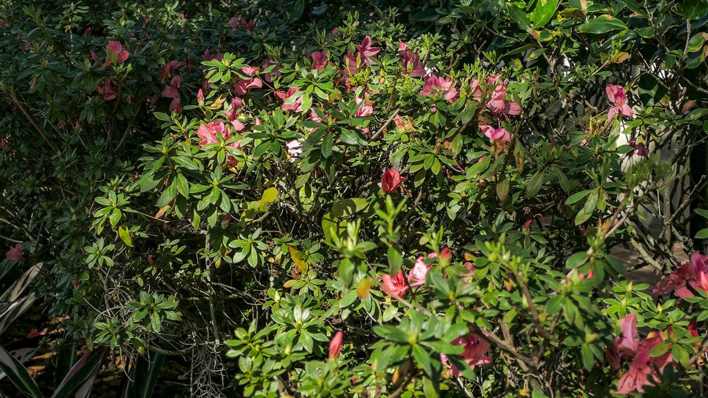 Azalea bush with flowers
