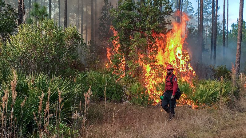 Person with drip torch walking in front of burning boods