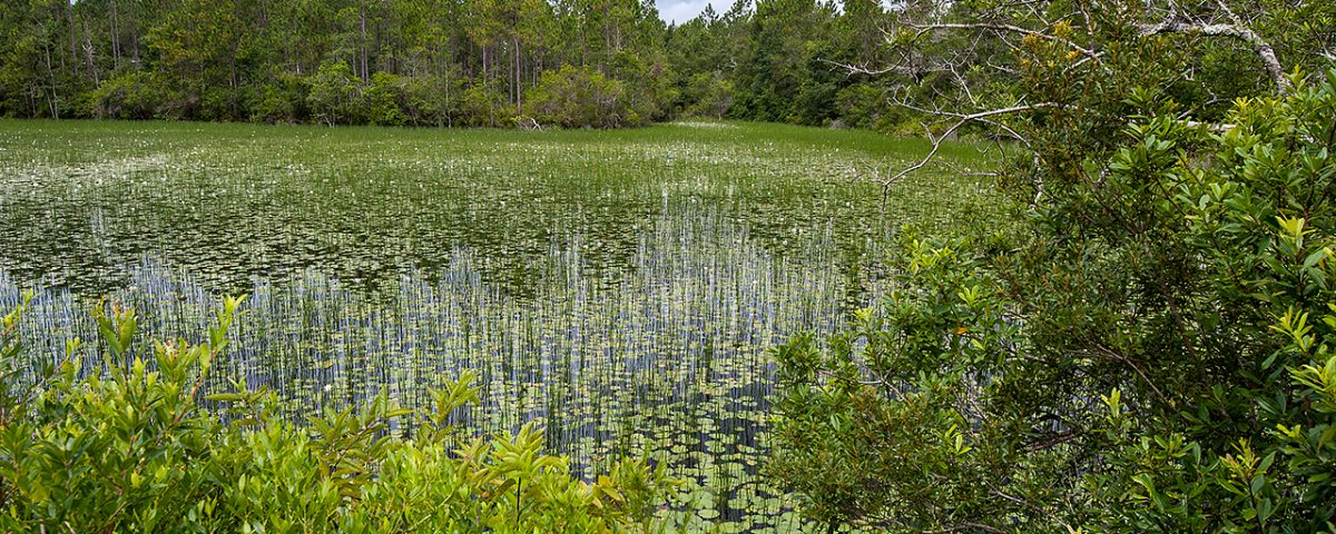 Wetland surrounded by pine forest