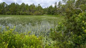 Photo overloooking a wetland surrounded by pine forest