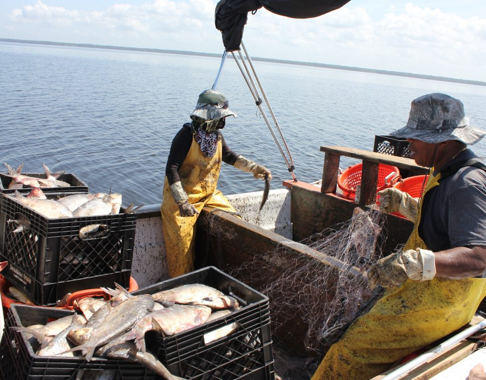 Fishermen catching gizzard shad