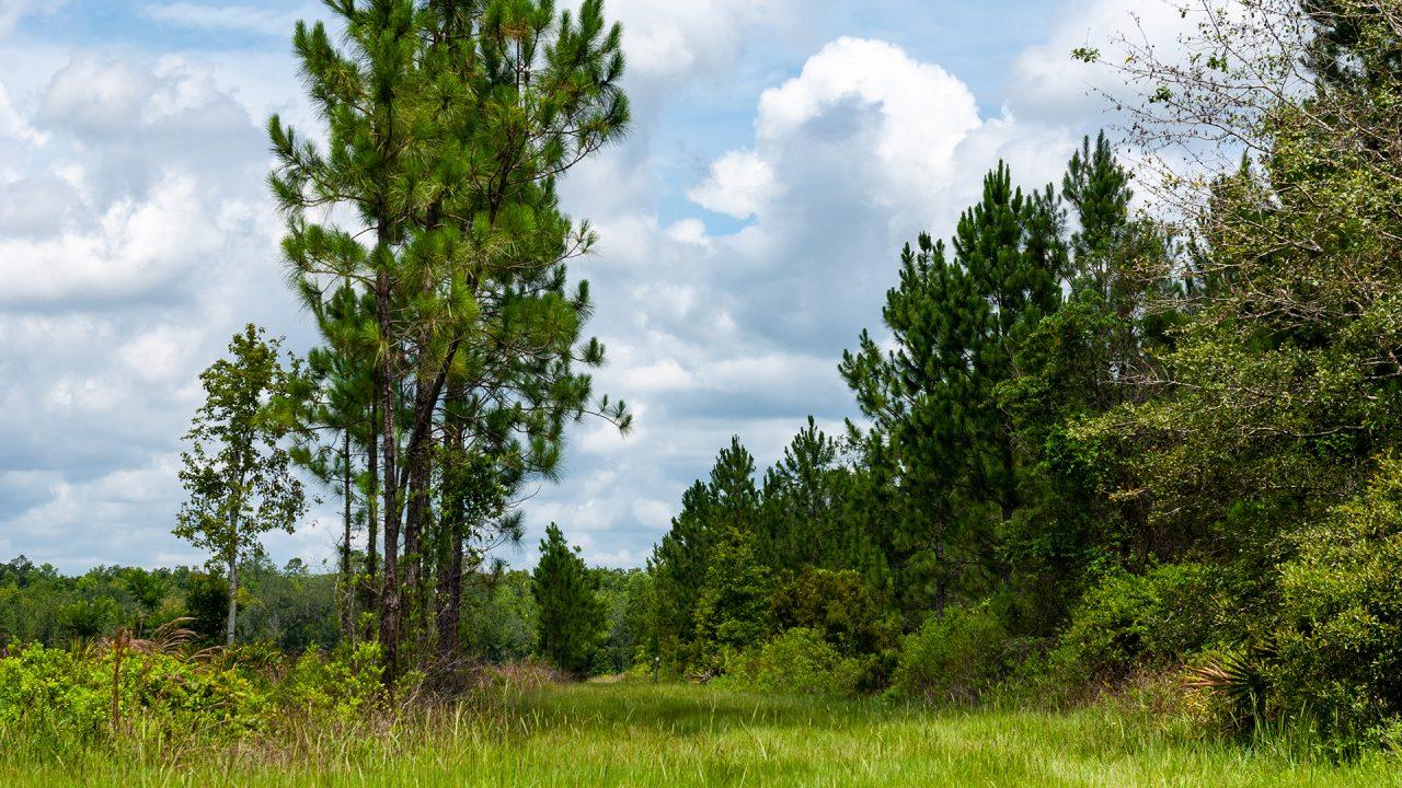 I trail heading down through pine trees