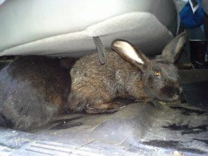 Flemish giant rabbits under a cushion