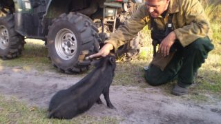 A district land manager pets a pot bellied pig