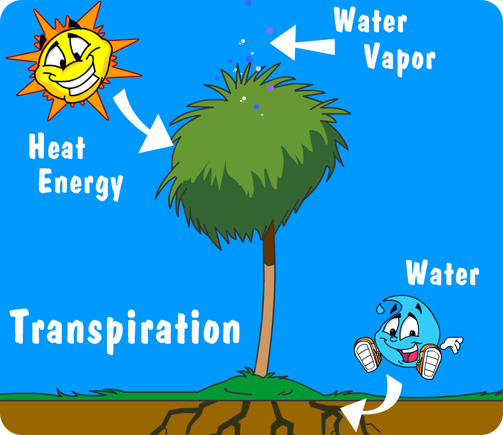 Illustration of water cycle in plants