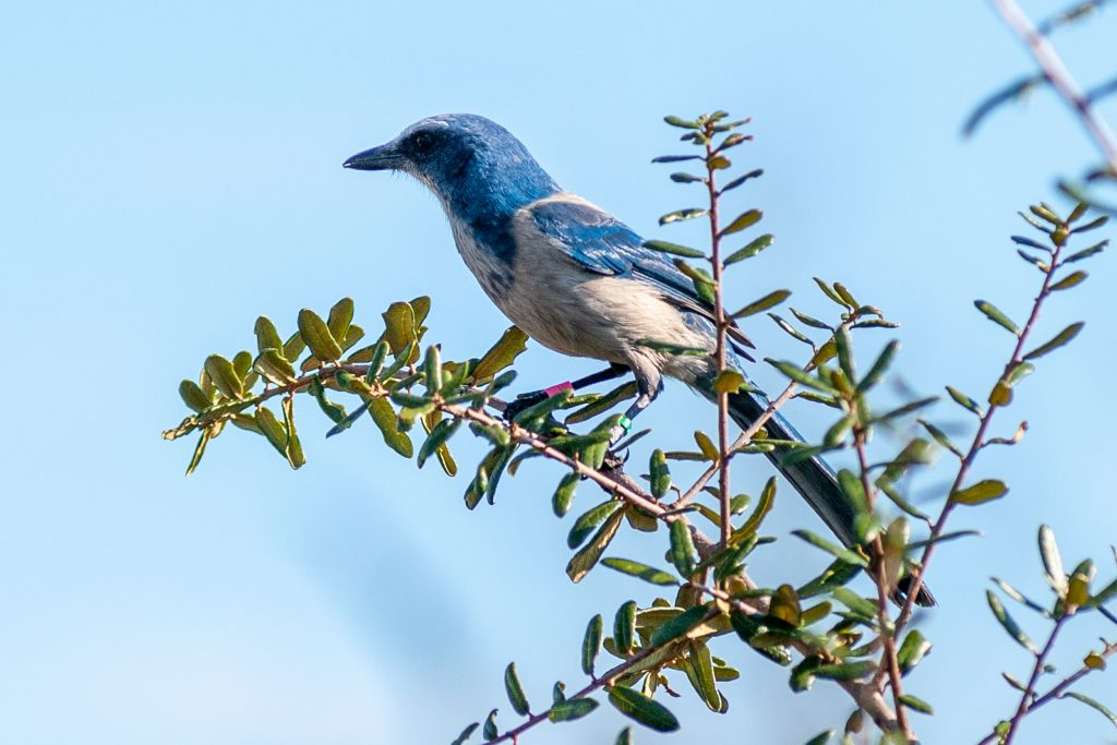 A scrub-jay enjoying its new home at the district's Buck Lake Conservation Area.
