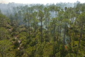 Prescribed fire burning through pine trees