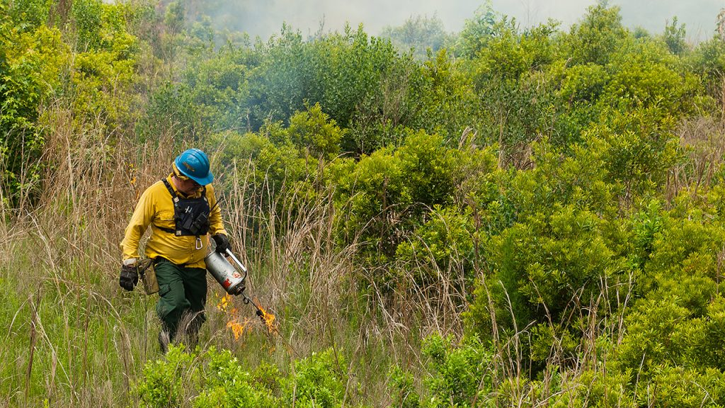 District staff using a drip torch to ignite a prescribed fire