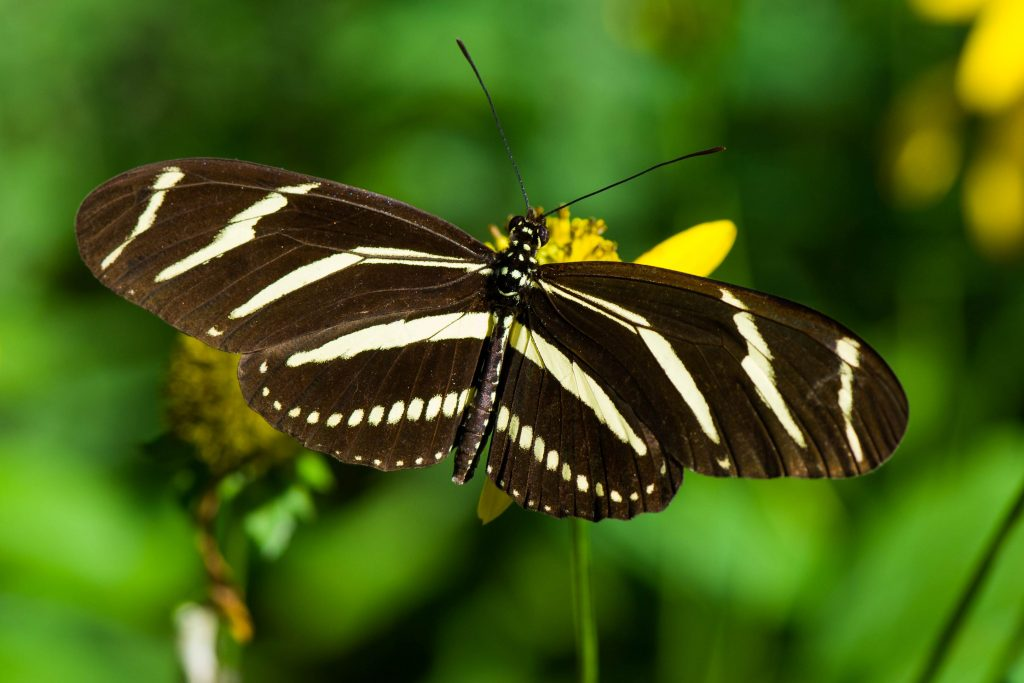 Zebra Longwing Butterfly - Heliconius charitonius