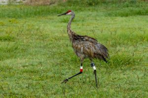 An adult Sandhill Crane struts through a field at the district's River Lakes Conservation Area
