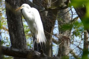 White ibis standing on a tree branch
