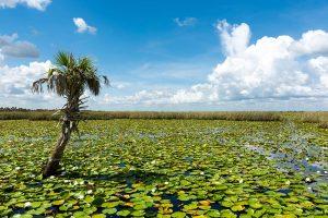 Lone palm tree stnading among a lake full of lily pads