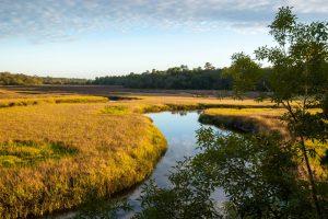 Field of yellow marsh grass