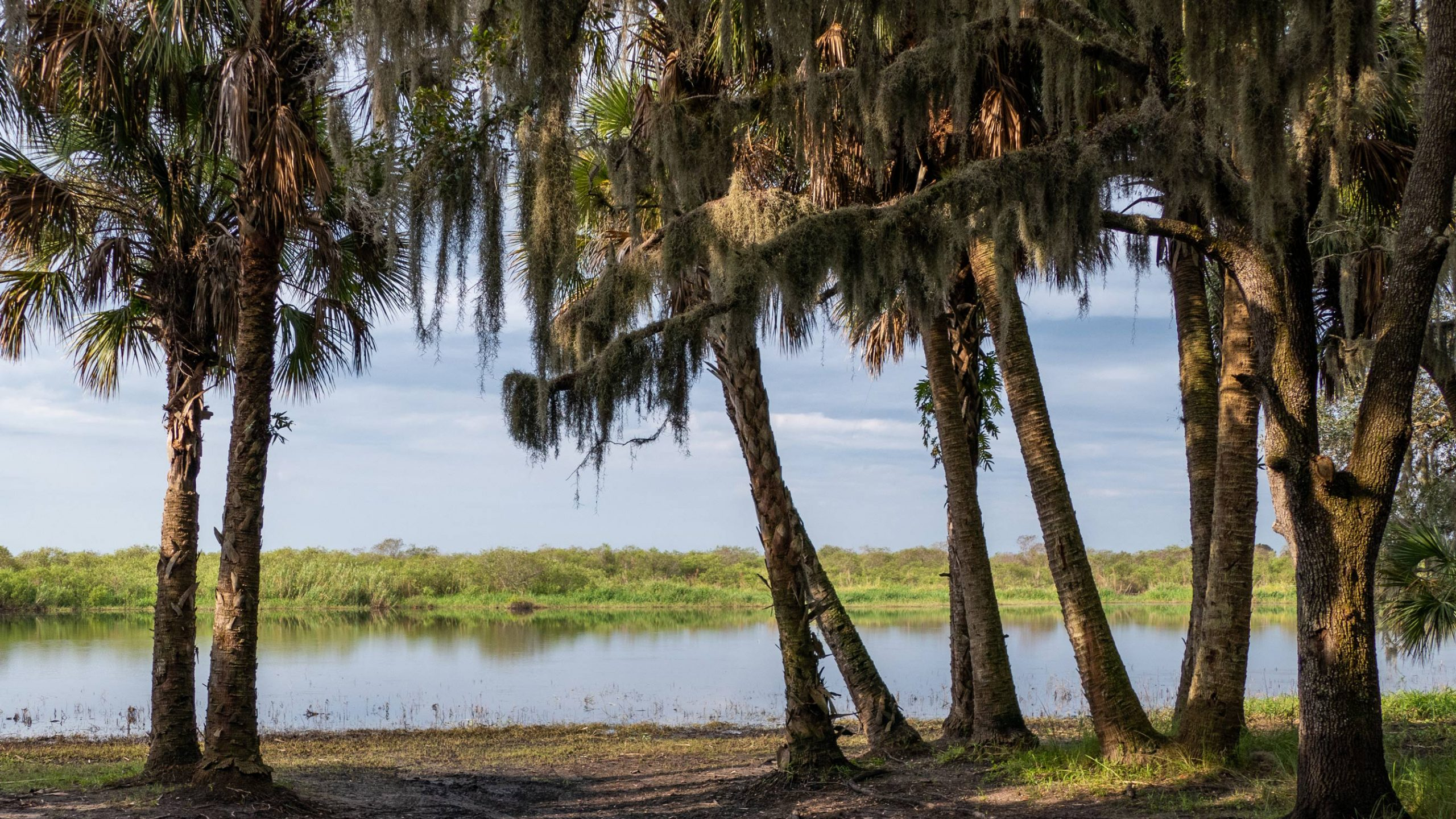 A line of palm trees by a lake