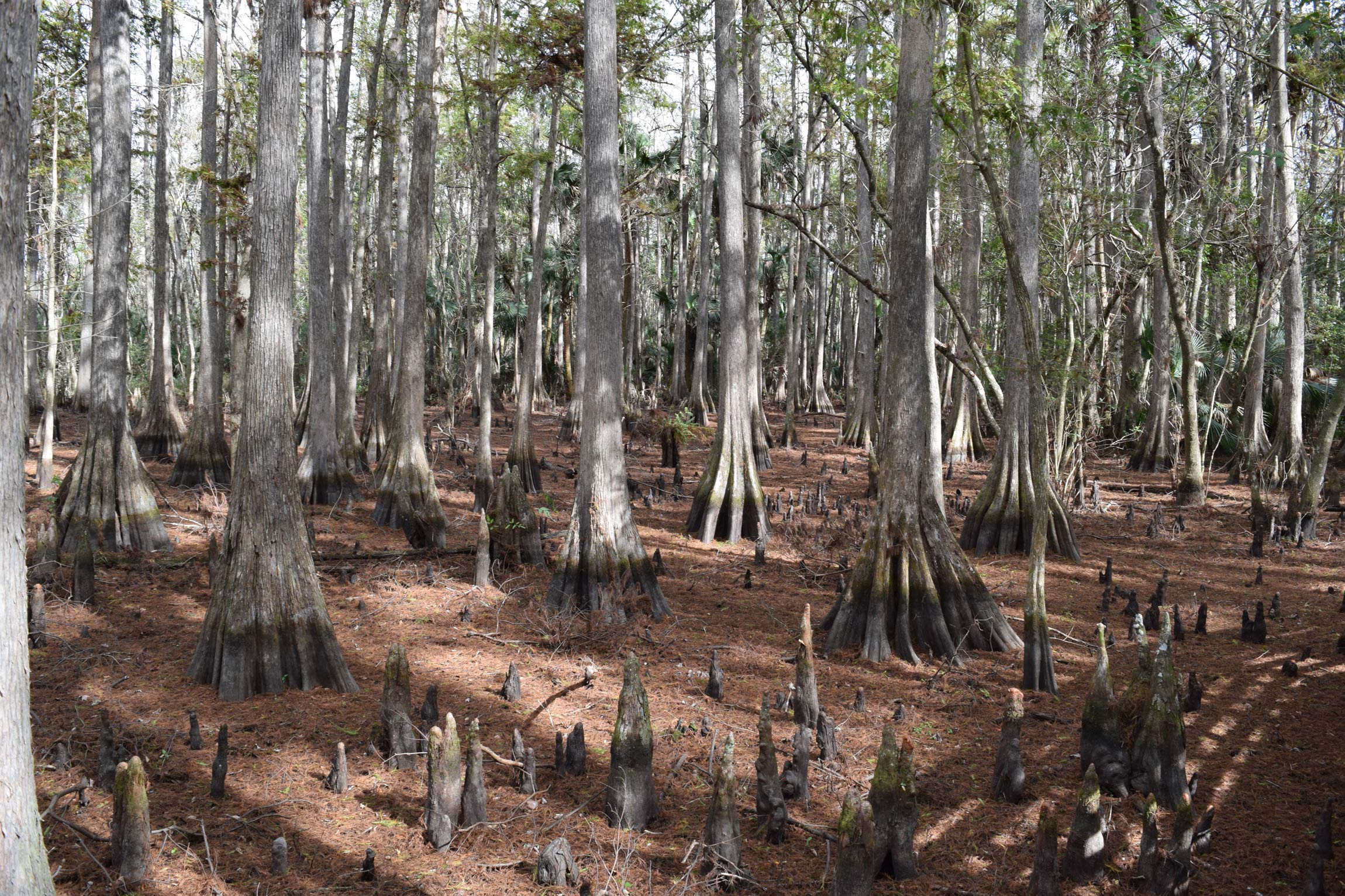 Scattered cypress knees among