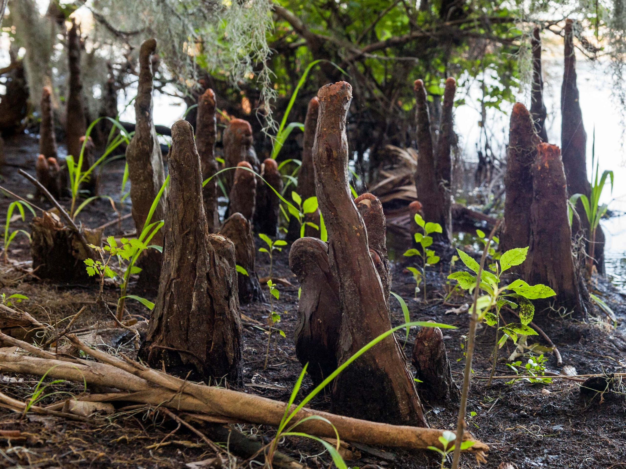 Cypress knees protrude from the swamp