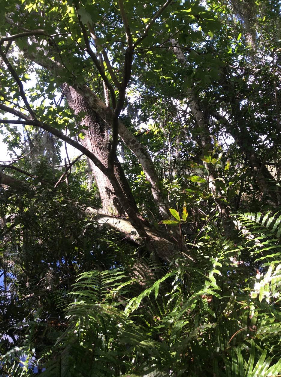 tree at Red Bug Lake