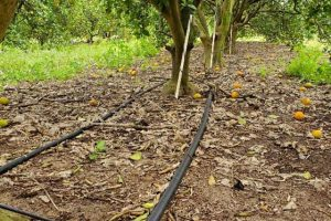Black irrigation pipes leading to an orange tree