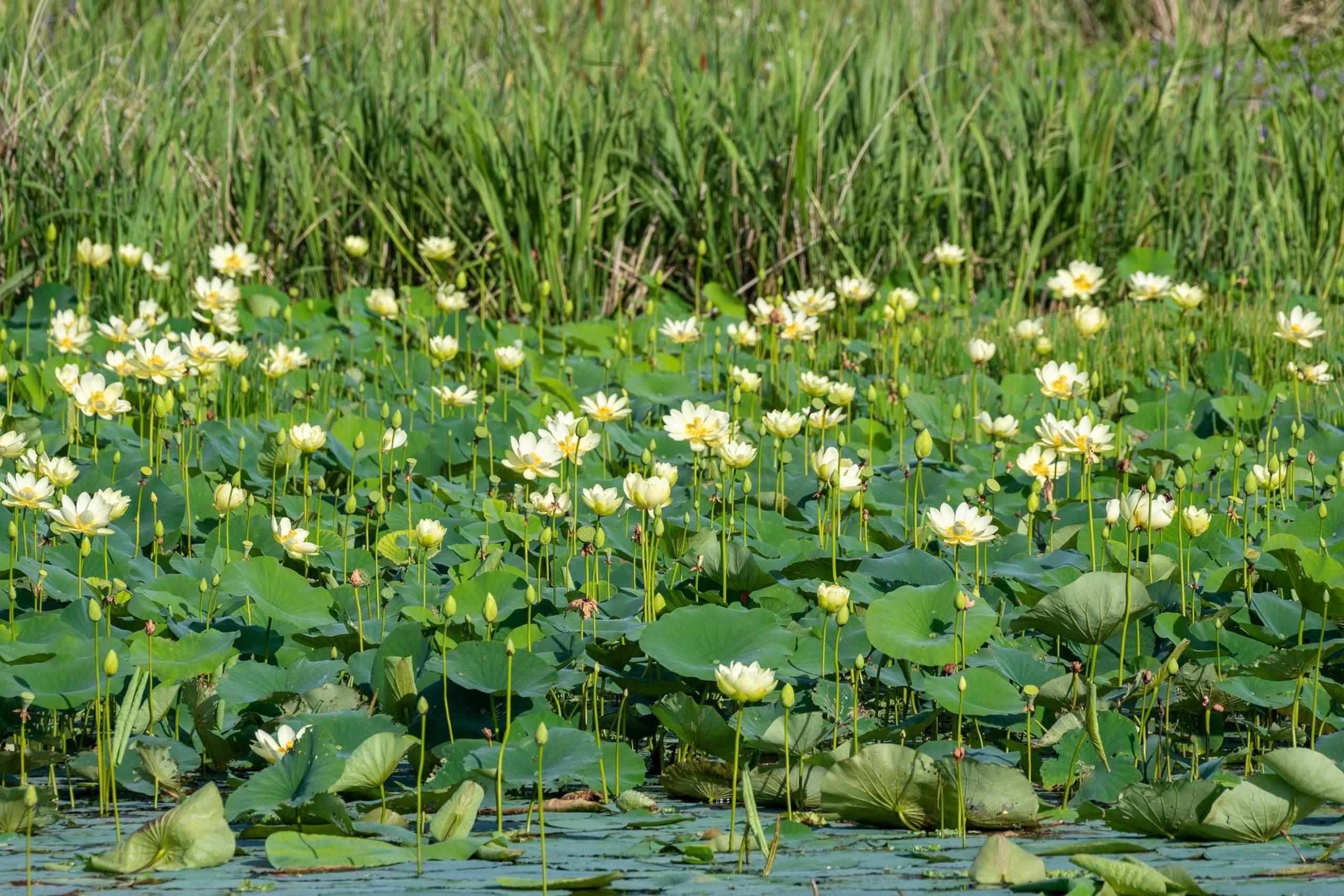 Field of water lilies