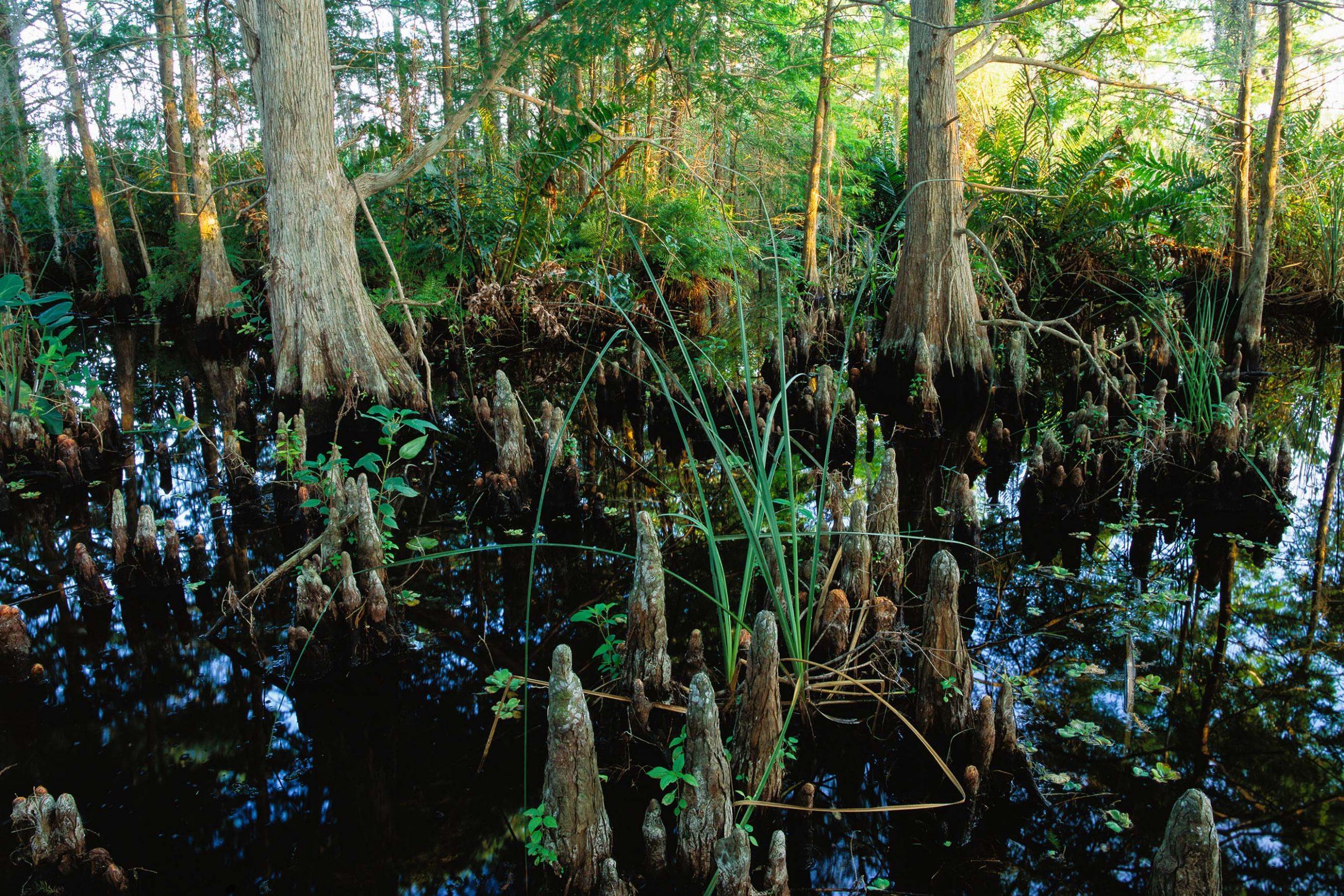 Cypress tree knees standing in water