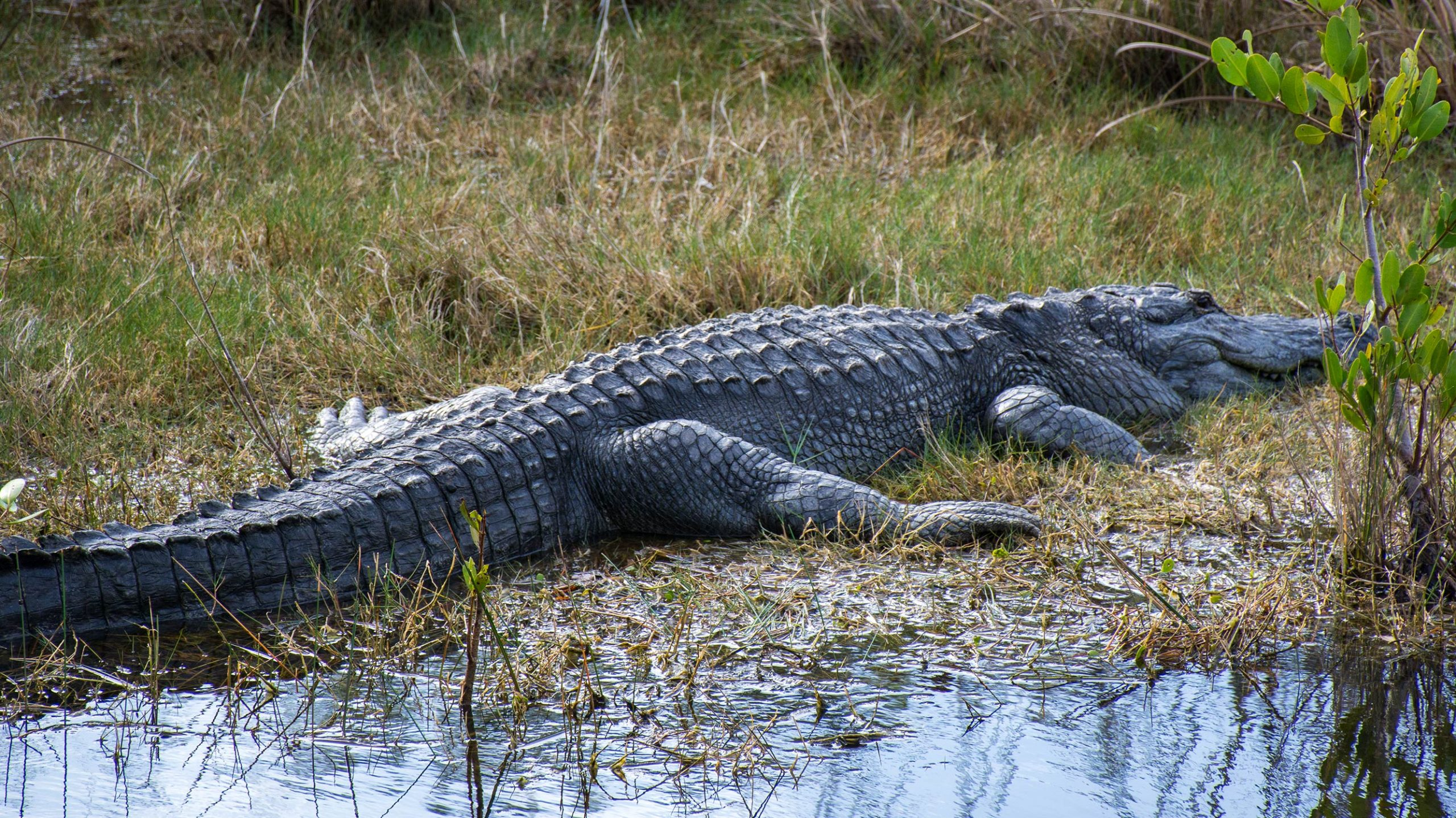 An American alligator finds a place of solitude in Blue Cypress Conservation Area in Indian River County.