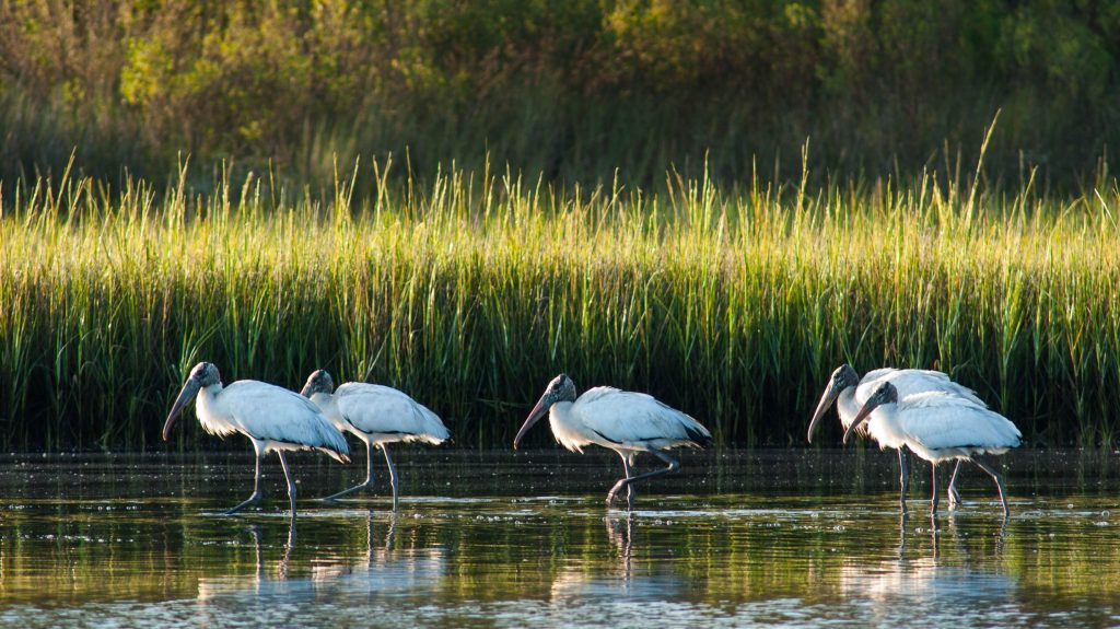 A colony of wood storks standing in some water