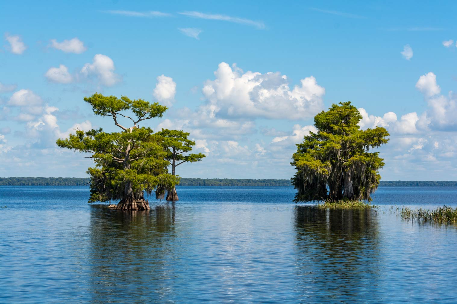 Two bunched of cypress trees standing in water
