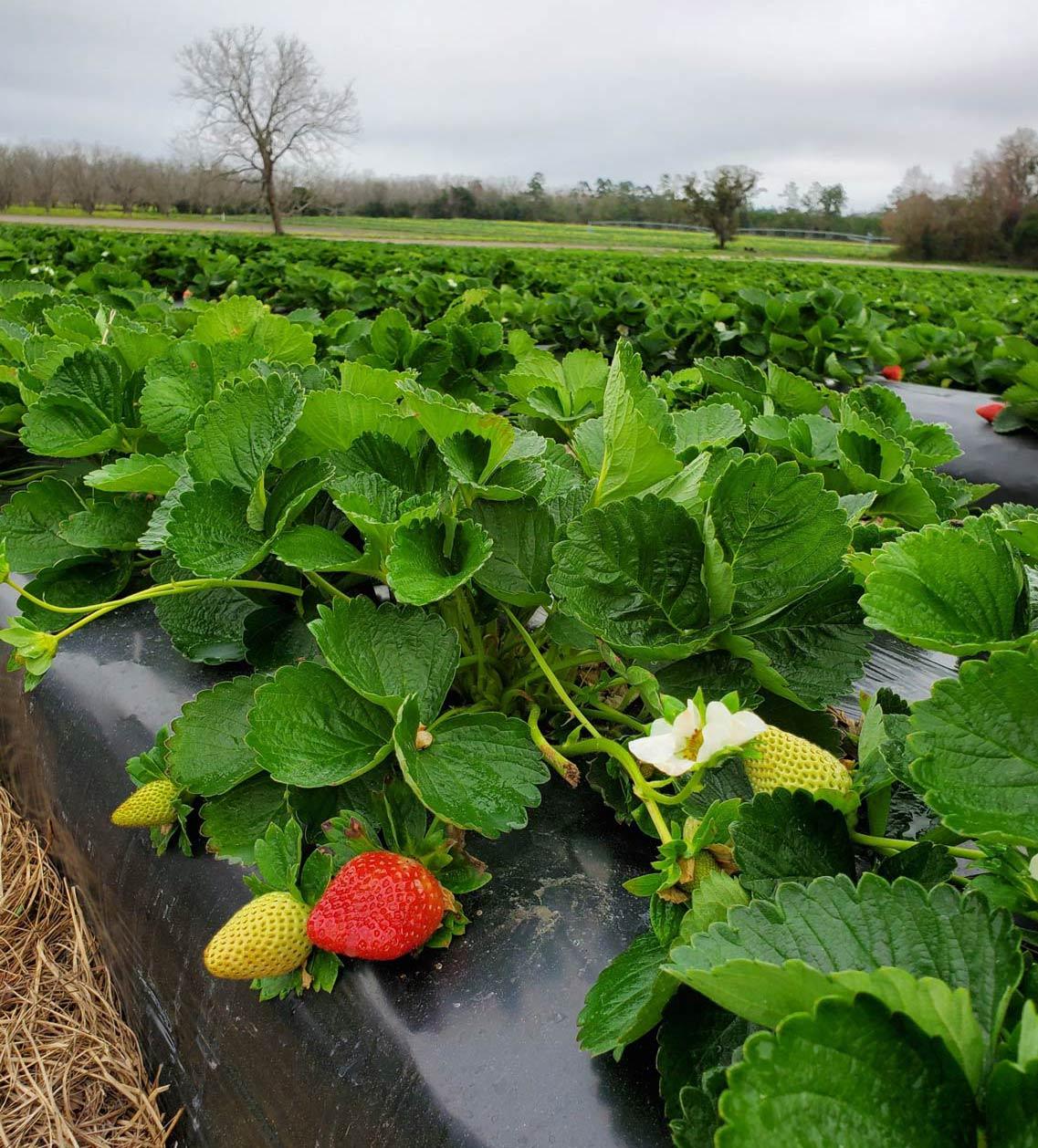 Repining strawberries on a farm