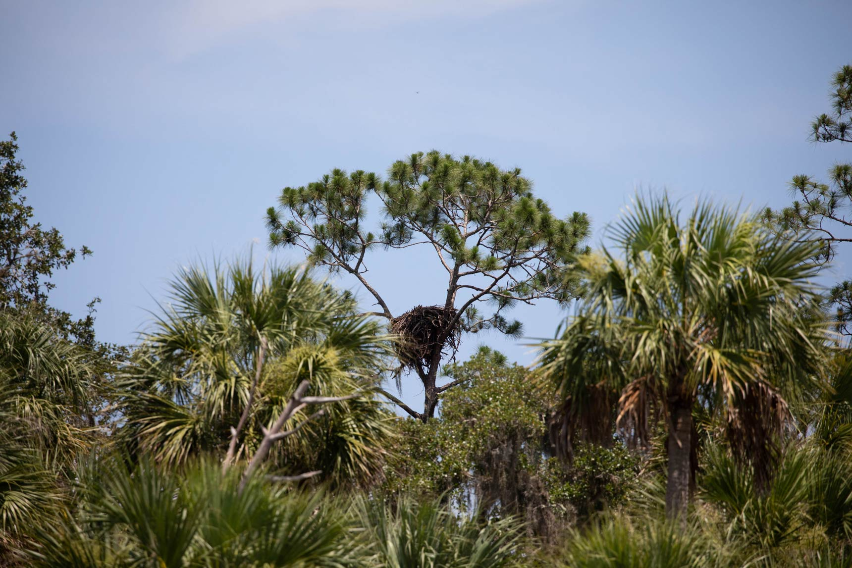 Eagle nest in a tree