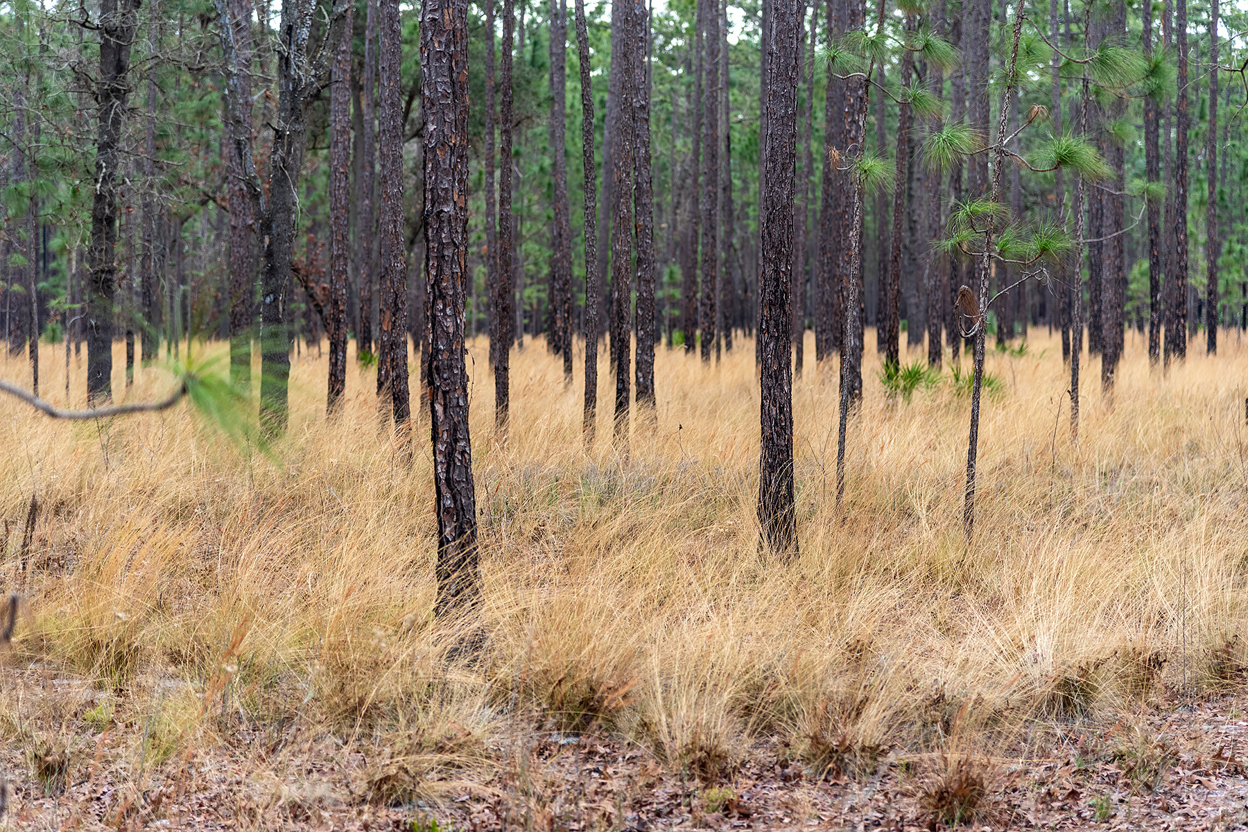 Wiregrass growing in a pine forest