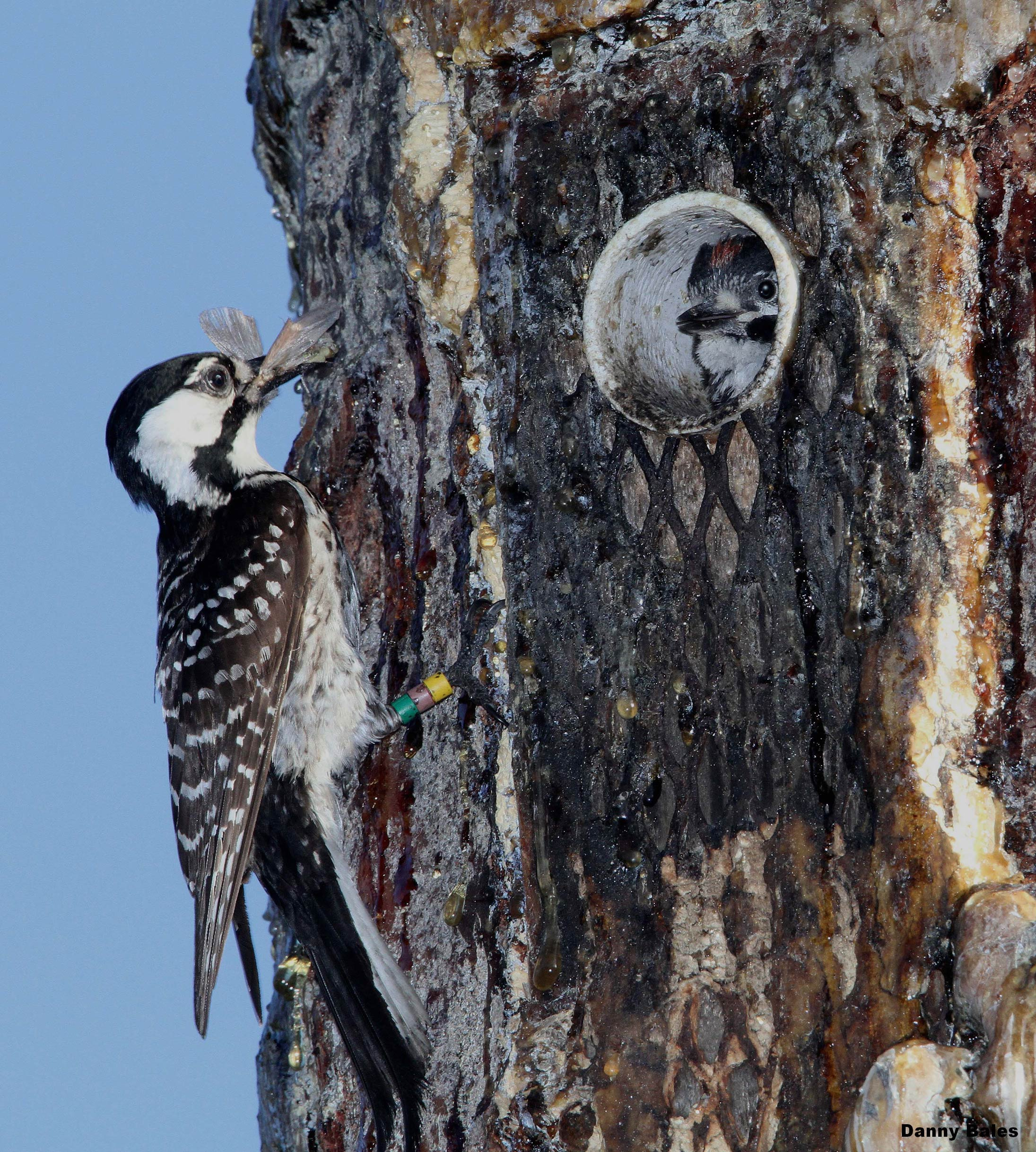 A pair of red-cockaded woodpeckers make their home in a manmade woodpecker box