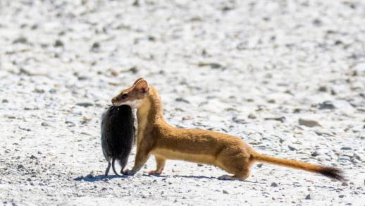 Weasel carrying its prey, a vole, in its mouth