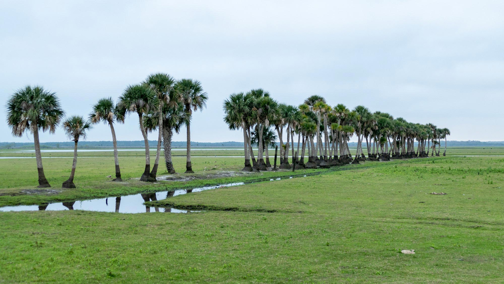 A row of palm trees standing by a stream