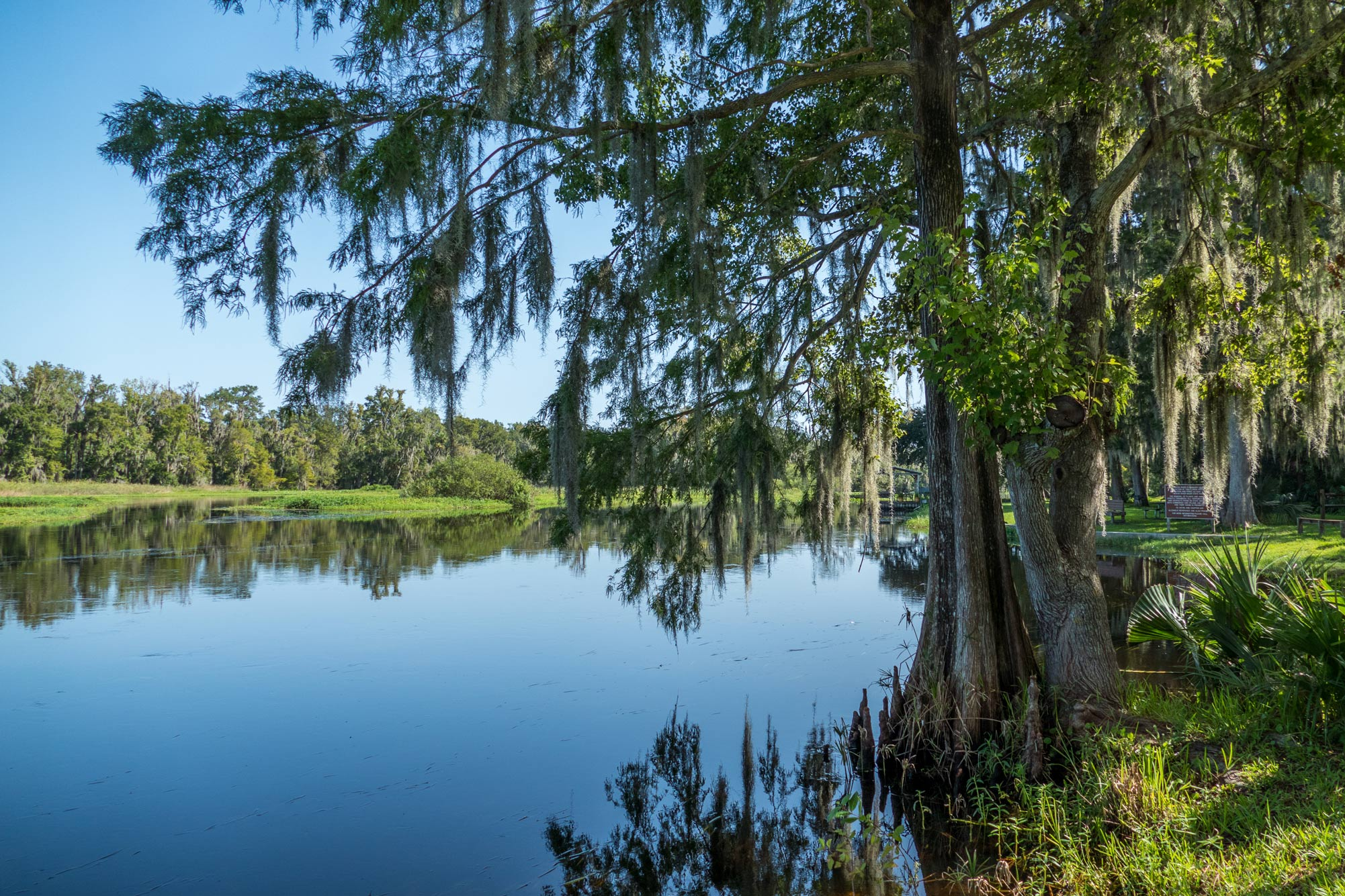 Cypress tree at the shore of Little Wekiva River