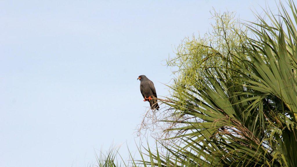 Snail kite sitting on a palm trees