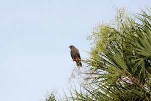 Snail kite sitting on a palm trees