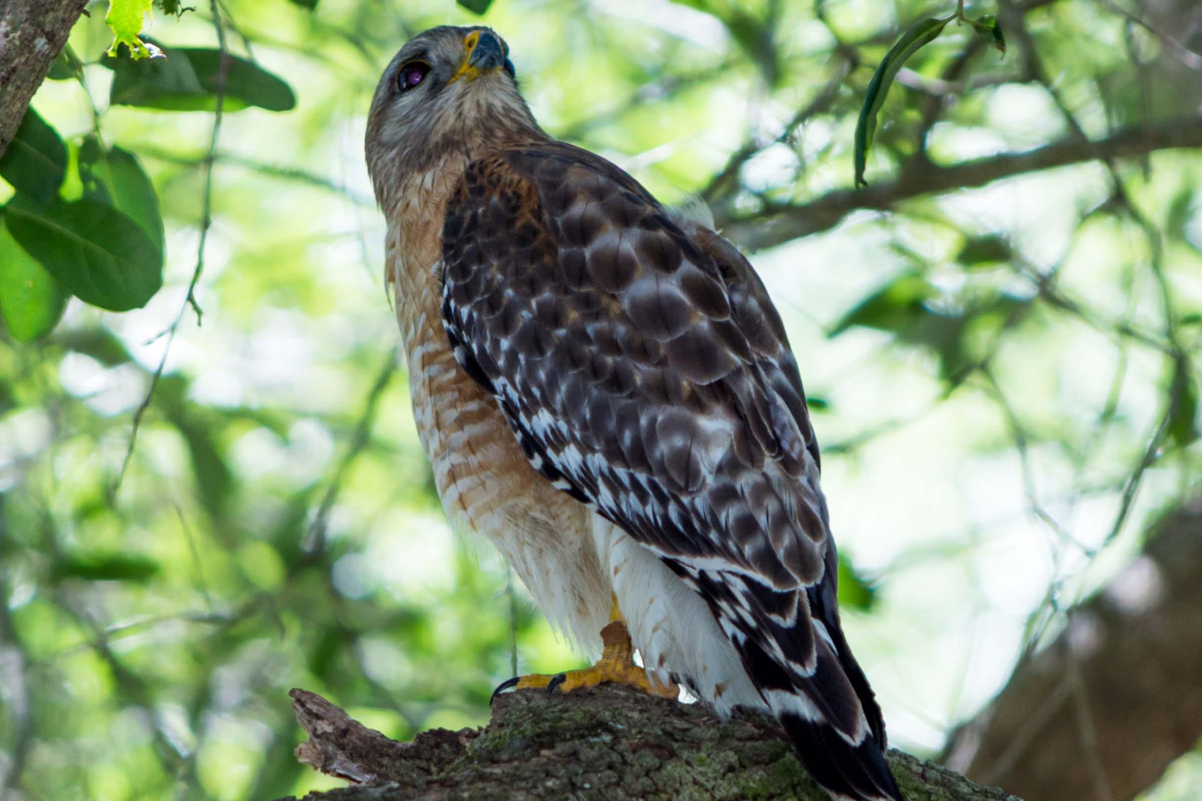 Brown hawk sitting on a tree branch