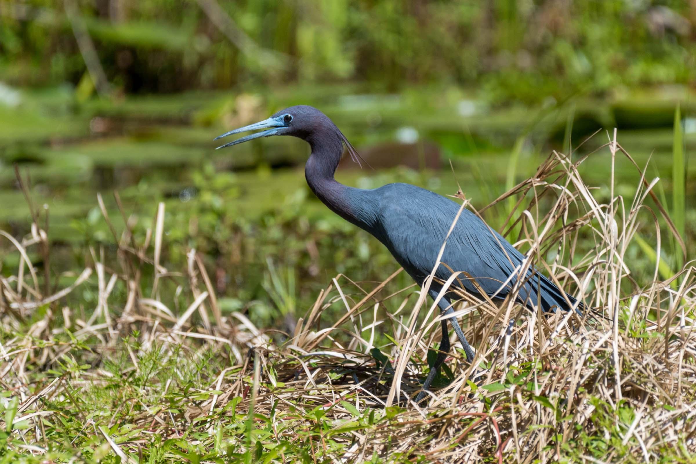 heron standing among some grass