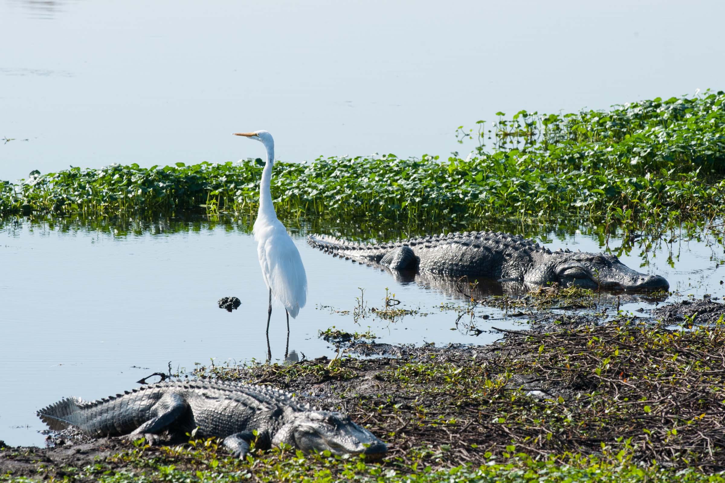 White bird standing between 2 alligators