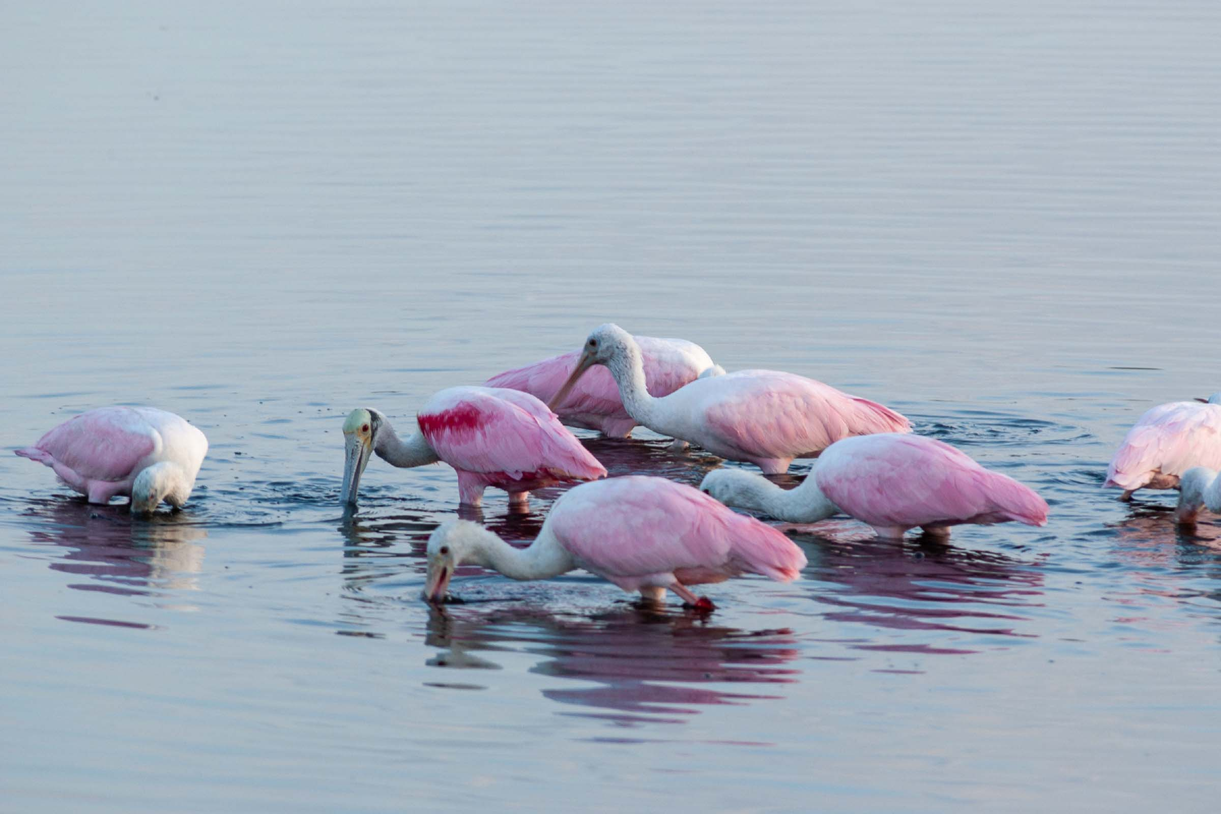 Pink birds feeding is shallow water