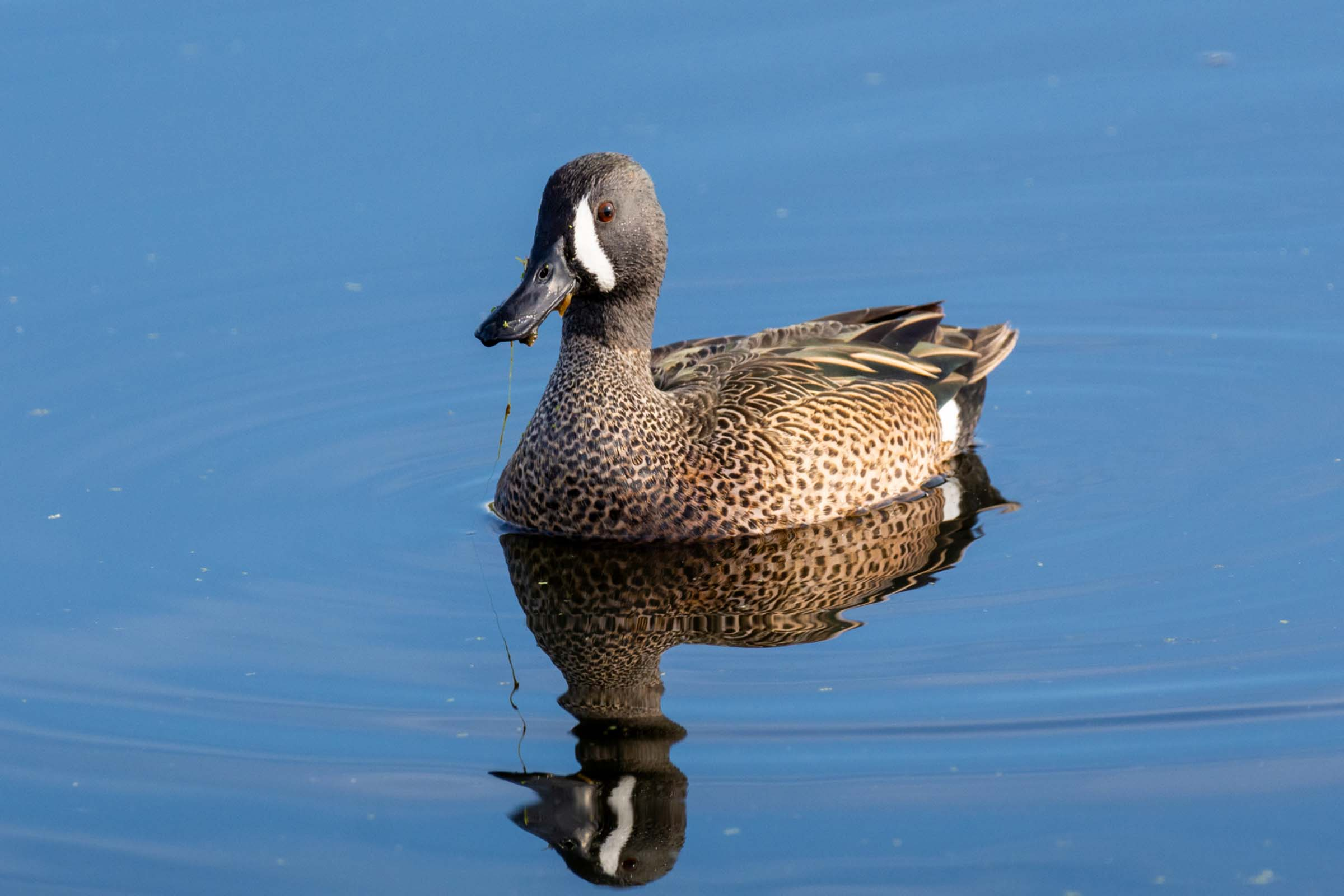Brown duck floating on calm waters