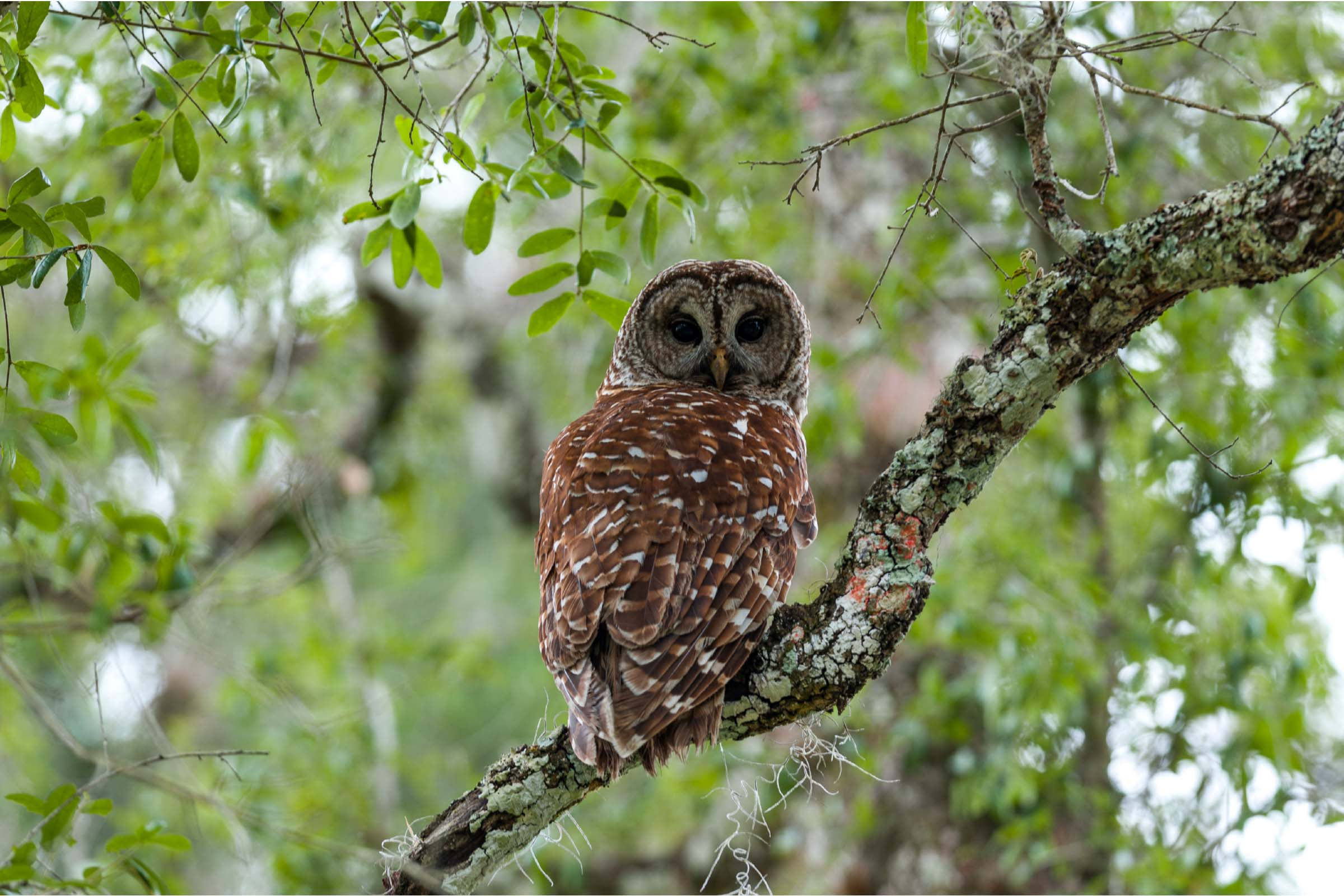 Brown owl sitting on a tree brach