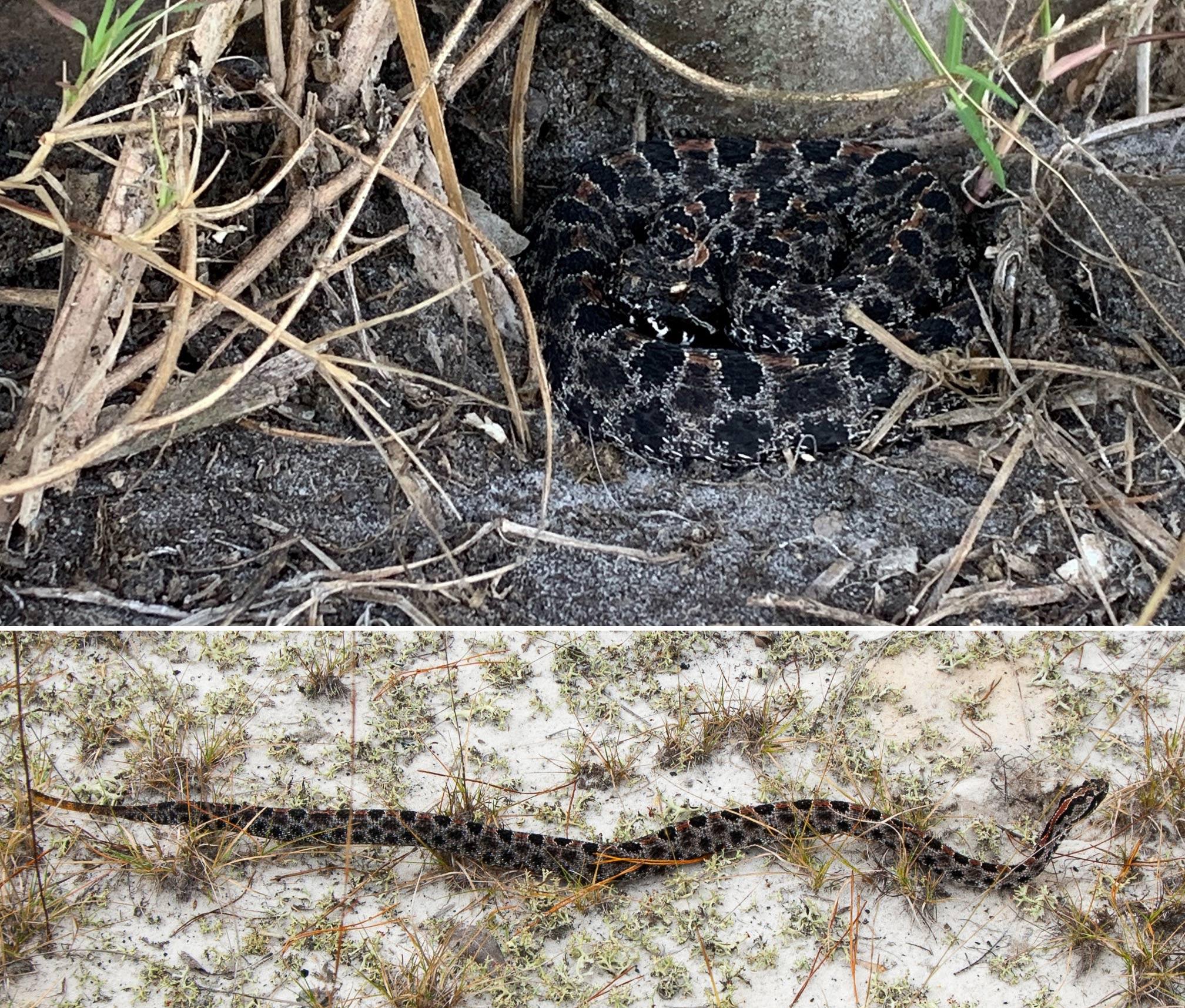 Pygmy rattlesnake slithering on sand