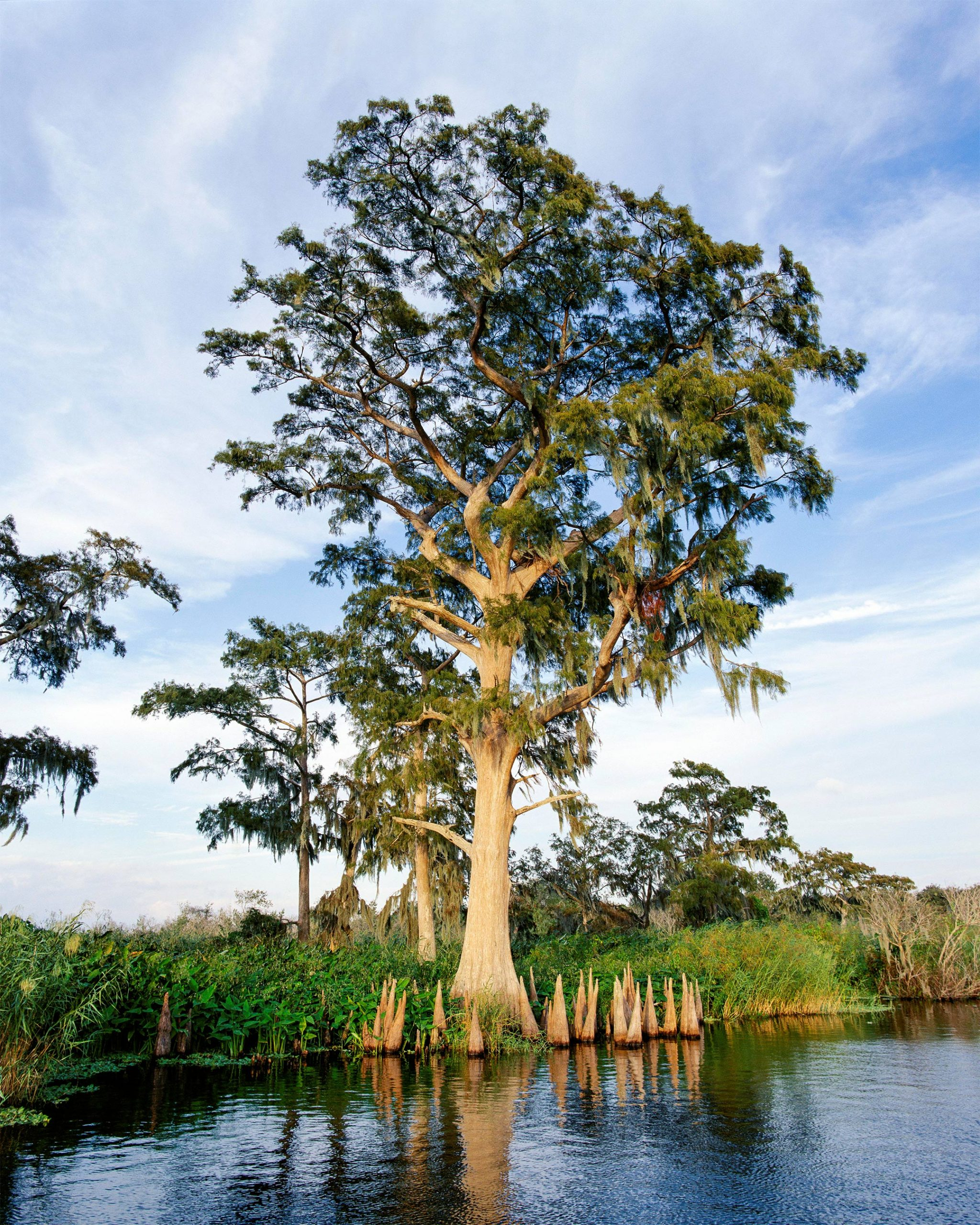 A cypress tree stands along the shore of the St. Johns River.