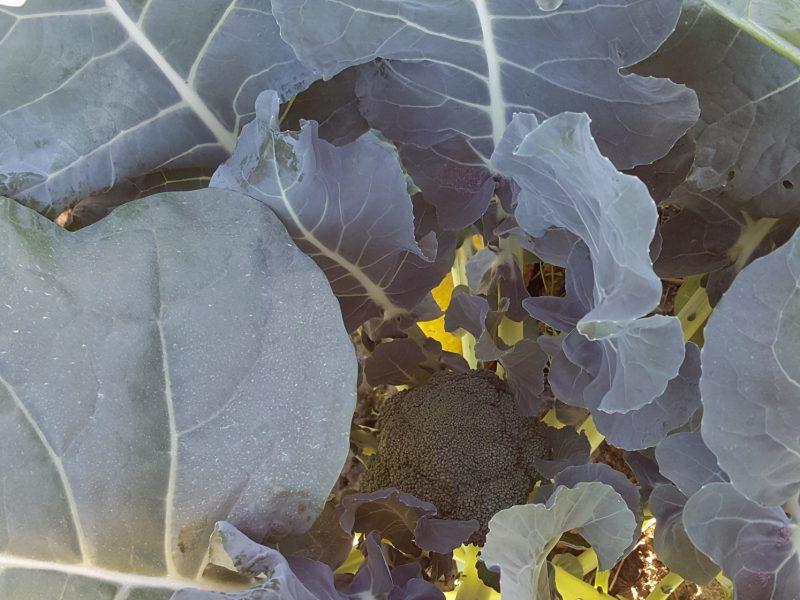 Young broccoli plants